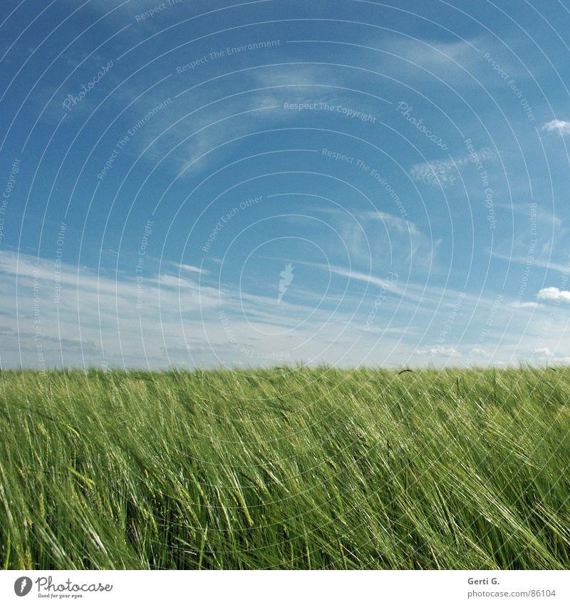 praktisch, quadratisch, Kornfeld Himmel grün Sommer Feld glänzend Wind verrückt frisch Quadrat Landwirtschaft Ernte Ackerbau saftig Weizen