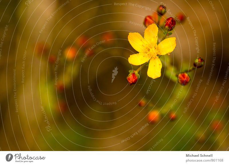 Johanniskraut Pflanze Sommer Blüte Wildpflanze Hypericum Hartheu frisch schön positiv gelb rot einzigartig Wandel & Veränderung Drehung aufwärts Farbfoto