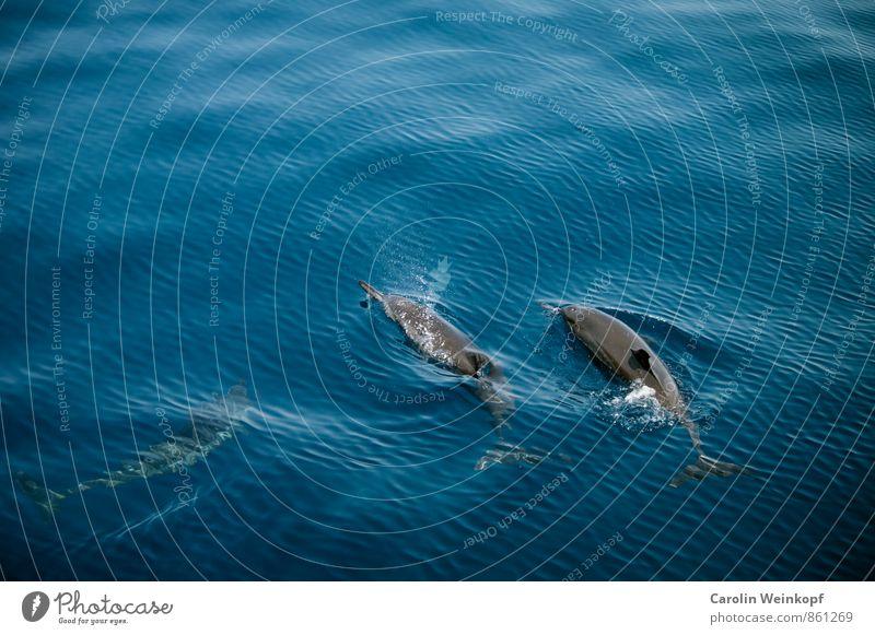 Delfine Wasser Sommer Wellen Meer Tier Wildtier Delphine 2 3 Tiergruppe Schwarm Tierfamilie Schwimmen & Baden blau Abenteuer Umweltschutz Farbfoto Außenaufnahme