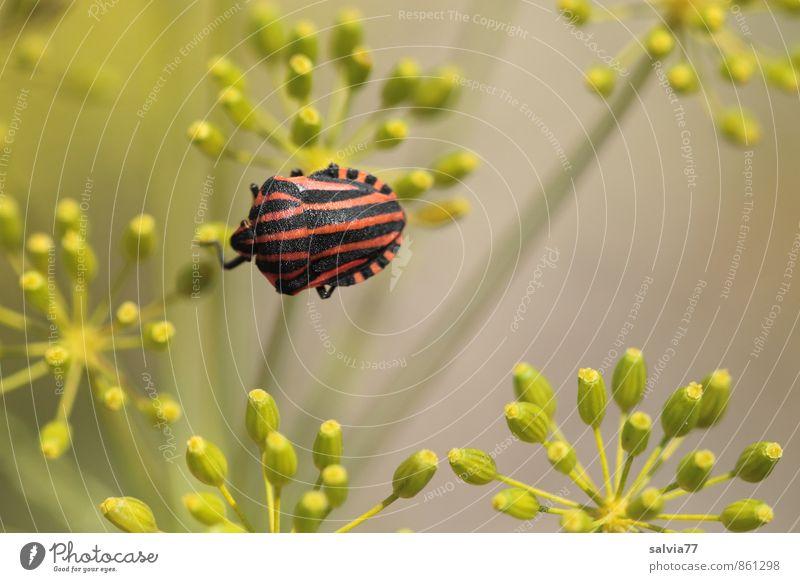 Streifenwanze Natur Pflanze grün Sommer Einsamkeit rot ruhig Tier schwarz Umwelt Herbst Blüte natürlich grau klein oben