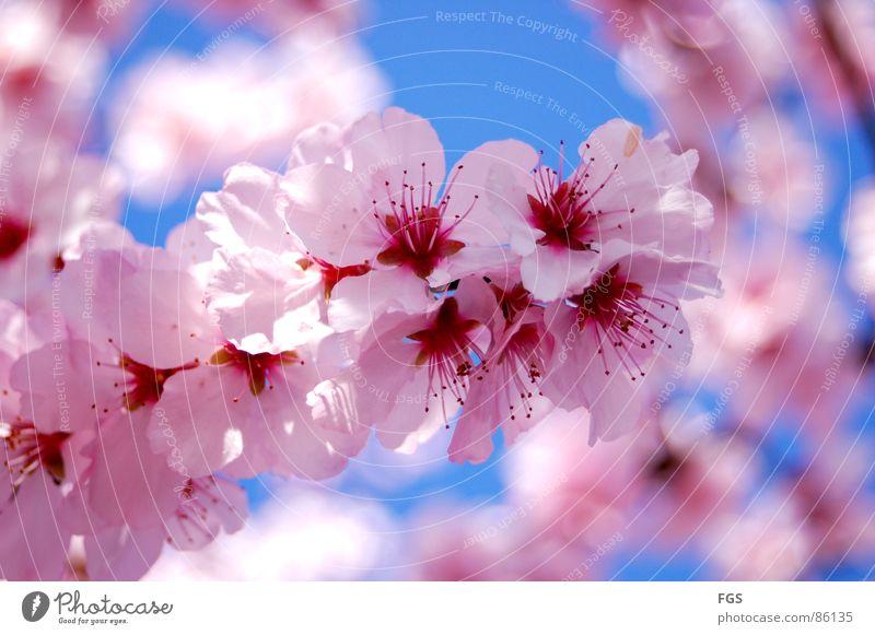 Frühling #1 Natur blau schön Baum rot Pflanze Sonne ruhig Erholung Frühling rosa elegant frisch Wachstum ästhetisch leuchten