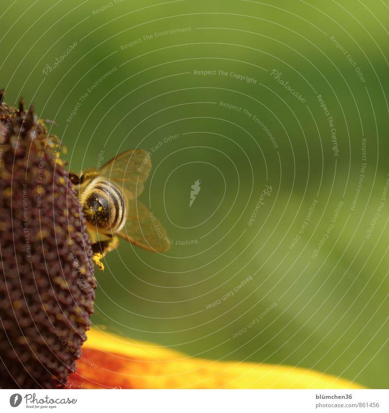 Hinterteil Blüte Roter Sonnenhut Tier Nutztier Wildtier Biene Honigbiene Insekt Flügel Beine Blühend klein natürlich schön feminin bestäuben Sammlung tragen