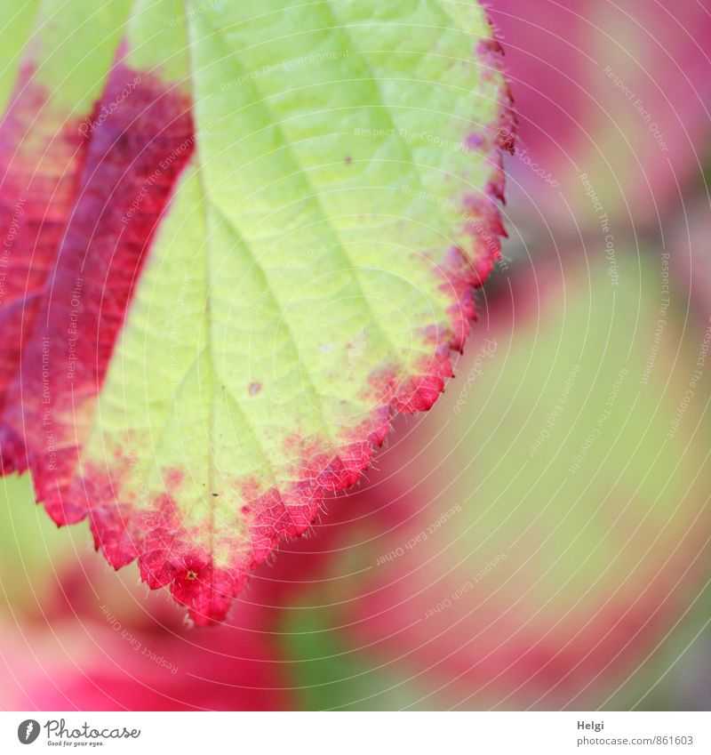 Herbst im Anmarsch... Umwelt Natur Pflanze Sommer Schönes Wetter Blatt Wildpflanze Brombeerblätter Wald alt hängen Wachstum ästhetisch authentisch