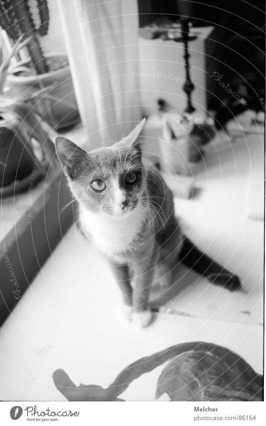 olga bugatti Katze Wohnung Tier Nachmittag Säugetier mietze Schwarzweißfoto Schreibtisch