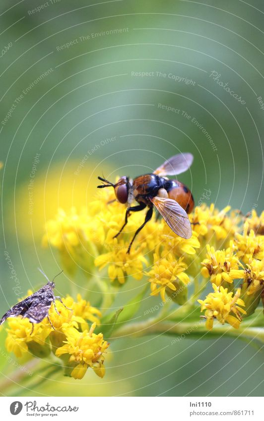 Goldrute mit Raupenfliege Natur Pflanze Tier Sonne Sonnenlicht Sommer Schönes Wetter Wärme Blume Wildpflanze Kanadische Goldrute Feld Wald Hügel Wildtier Fliege