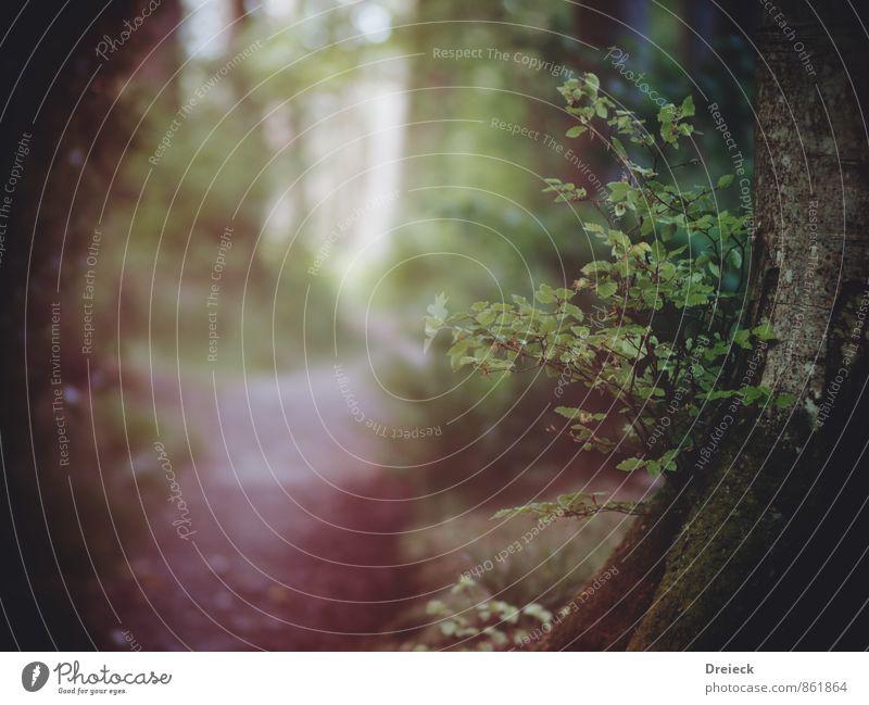 Gespensterwald Umwelt Natur Sommer Nebel Pflanze Baum Sträucher Blatt Grünpflanze Wildpflanze Wald entdecken bedrohlich dunkel gruselig kalt Neugier grün Angst
