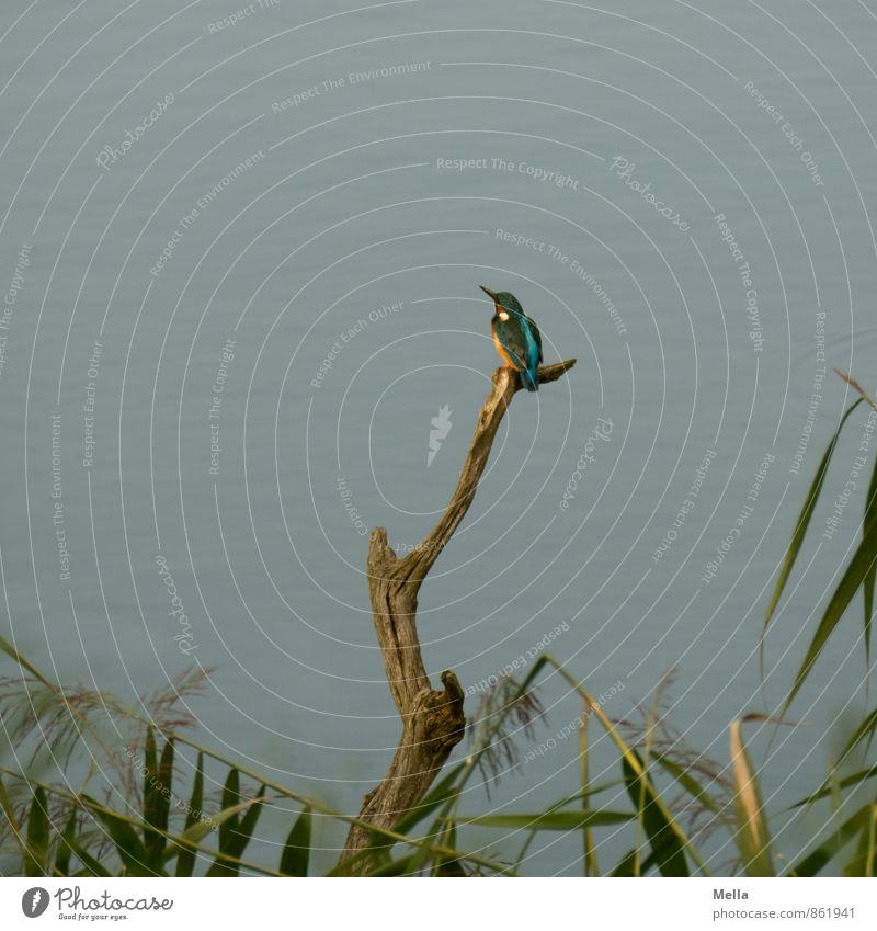Chilling Mr Iceman Umwelt Natur Tier Wasser Pflanze Gras Ast Schilfrohr Küste Seeufer Flussufer Teich Wildtier Vogel Eisvögel 1 hocken Blick sitzen frei klein