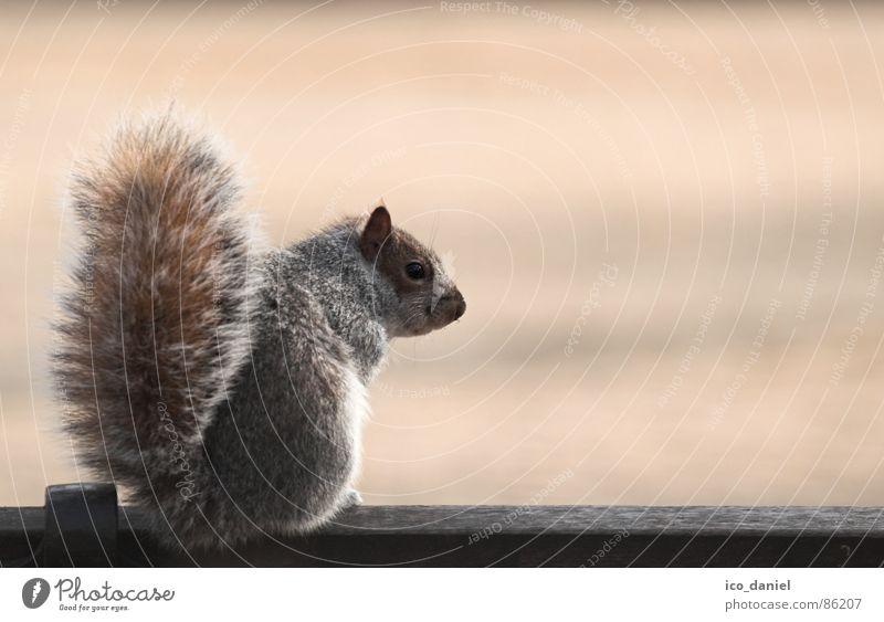Short Break - Grauhörnchen Natur Tier klein Park sitzen Wildtier Pause Bank niedlich Sauberkeit sanft Säugetier Schwanz Eichhörnchen gehorsam