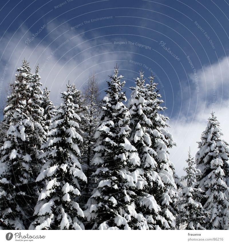 rarität Natur Himmel Winter Einsamkeit Wald Schnee Landschaft Idylle Tanne Fichte