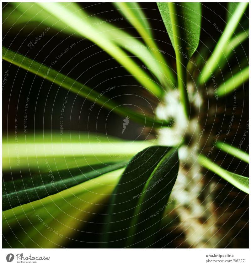 madagaskar Garten Pflanze Grünpflanze Wüste grün Palme Zimmerpflanze Dorn Botanik Blattadern Stechpalme Pflanzenteile Stengel Blütenstiel Madagaskar Palme