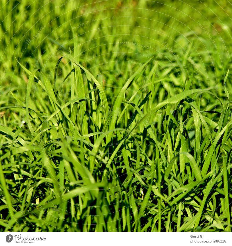 bisschen Gras dazu? grün Sommer Freude Wiese Gras hell Feld leuchten frisch Wind Rasen Landwirtschaft Weide Teile u. Stücke Ernte Halm