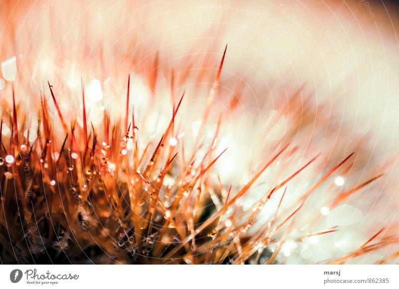 Gruppenfeeling | Kuscheln auf eigene Gefahr! Pflanze Kaktus Topfpflanze Kakteenstacheln außergewöhnlich dünn glänzend gruselig stachelig stechen Farbfoto