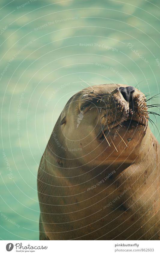 Schnarch Wasser Sommer Tier Zoo Seehund Seelöwe Robben 1 genießen schlafen dick lustig maritim braun türkis Zufriedenheit friedlich Vorsicht Gelassenheit