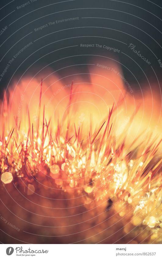 Brennender Dornbusch Natur Pflanze Kaktus Topfpflanze glänzend leuchten außergewöhnlich dunkel dünn authentisch einfach elegant exotisch gruselig natürlich
