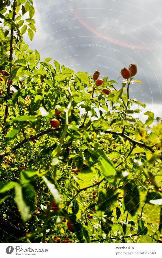 Hagebutten Natur Pflanze grün Sonne Blatt Wolken Umwelt Berlin Gesundheit Garten Wetter Zufriedenheit Sträucher Erfolg Klima Abenteuer