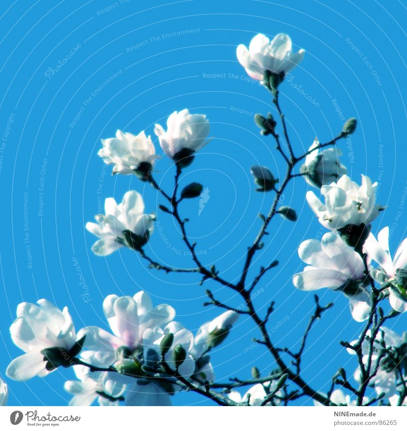 ... mit ganz großen Schritten Magnolienbaum Frühling Physik Blüte Blütenblatt Frühlingsgefühle Gute Laune Quadrat Karlsruhe Ambiente Fröhlichkeit Flair