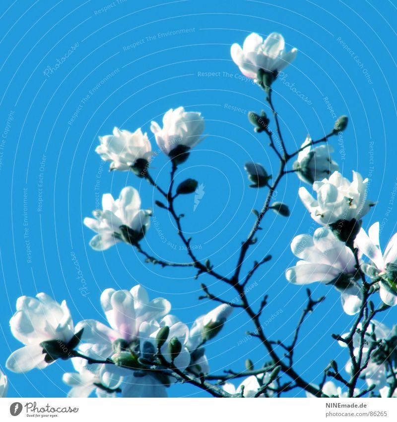 ... mit ganz großen Schritten weiß Blüte Frühling Glück Wärme Zufriedenheit Stimmung Fröhlichkeit Klima Physik Quadrat Magnoliengewächse Ambiente perfekt