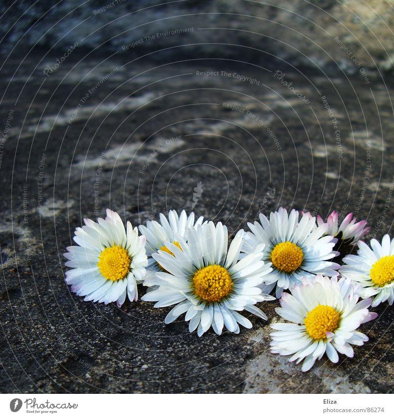 gesammelte gepflückte Gänseblümchen draußen auf Stein Sommer Sonnenbad Dekoration & Verzierung Pflanze Frühling Wärme Blume Blüte Beton außergewöhnlich grau