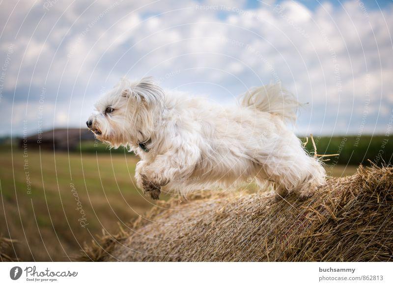 Ein Havaneser hebt ab Hund Himmel blau weiß Wolken Freude Tier gelb fliegen springen Aktion sportlich Fell Haustier langhaarig Stroh
