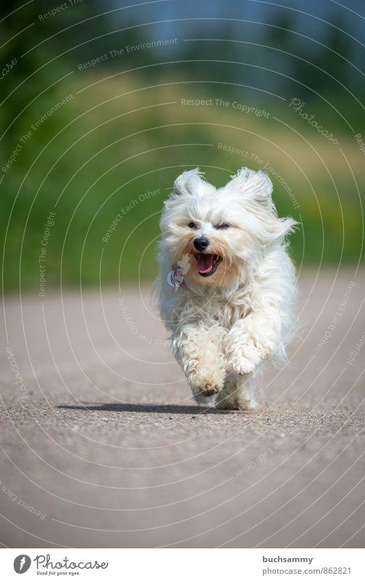 Fröhlicher Havaneser Hund grün weiß Tier Straße grau Geschwindigkeit Fell Haustier langhaarig
