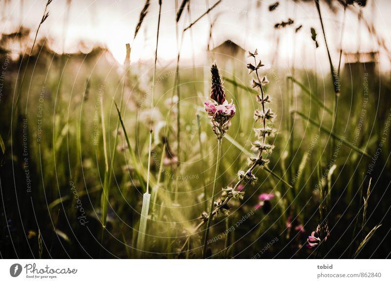 Sommerwiese Pt.2 Natur Ferien & Urlaub & Reisen Pflanze grün Farbe Blume Landschaft Haus Wiese Gras braun elegant Idylle Sträucher ästhetisch