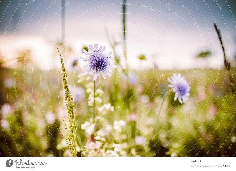 Sommerwiese Pt. 3 Himmel Natur Pflanze grün Sonne Landschaft Ferne Wärme Wiese Gras natürlich hell Horizont Idylle ästhetisch