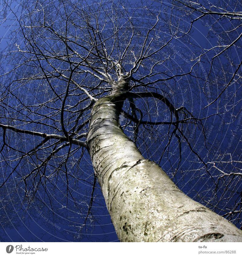 himmelhoch Himmel Winter oben groß Macht Niveau außergewöhnlich aufwärts Baumstamm himmelblau Buche Firmament