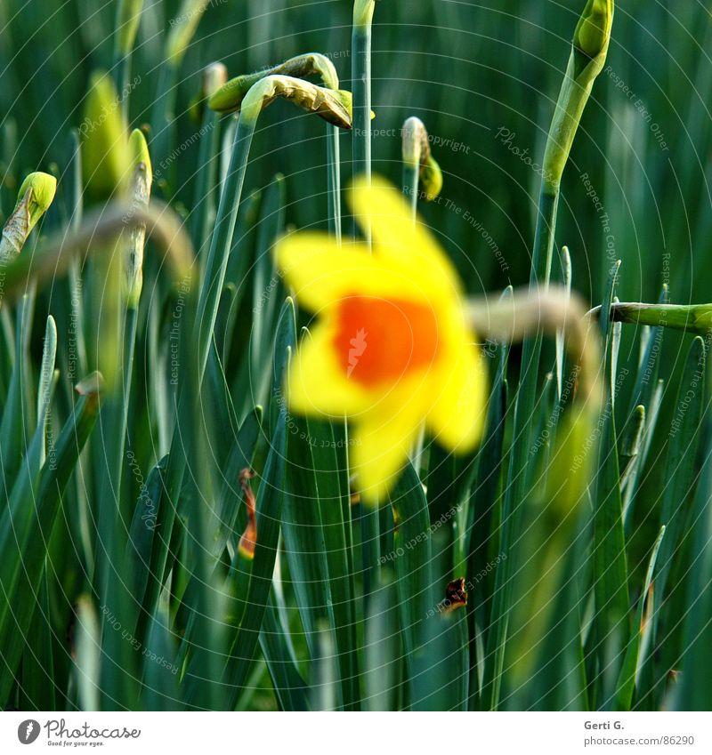 scharfe Knospen Knollengewächse Gelbe Narzisse Narzissen gelb Frühling Frühblüher Feld Blumenwiese Blüte grün hintergrundschärfe frühlingsbote orange