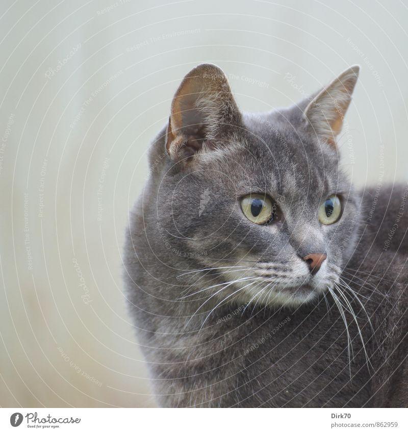 Eyes wide open Tier Haustier Katze Tiergesicht Tierporträt Hauskatze 1 beobachten Blick elegant Neugier schön braun gelb grau rosa schwarz weiß Interesse
