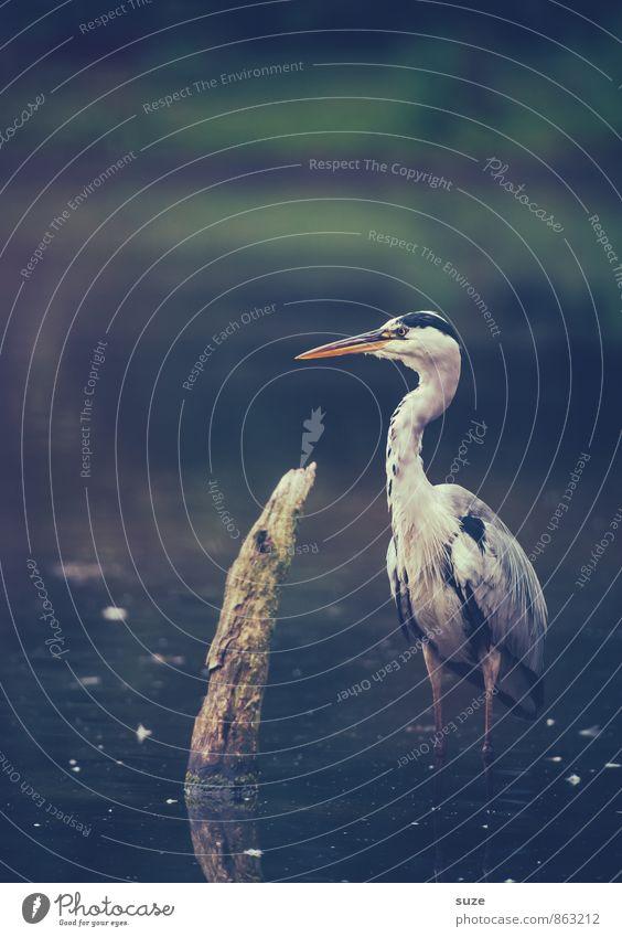 Herr Strese schweigt Natur Wasser Landschaft Tier dunkel kalt Umwelt natürlich See Vogel wild elegant Wildtier authentisch stehen Feder
