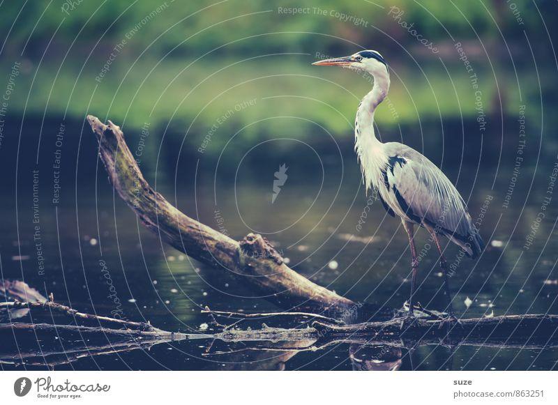 Der feine Herr Strese Natur grün Wasser Landschaft Tier Umwelt grau See Stimmung Vogel wild elegant Wildtier stehen Feder warten