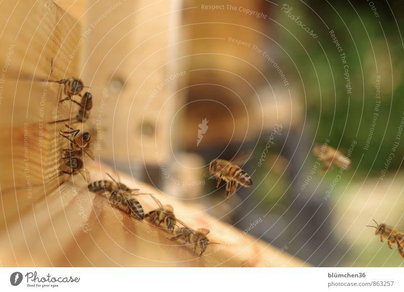Happy Birthday montecarlo... Tier Nutztier Wildtier Biene Honigbiene Insekt Schwarm fliegen tragen ästhetisch schön klein natürlich Arbeit & Erwerbstätigkeit