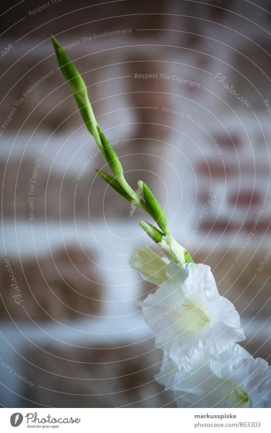 Gladiole Pflanze weiß Blatt Haus Freude Wand Innenarchitektur Blüte Architektur Mauer Gebäude Glück Wohnung Lifestyle Häusliches Leben Zufriedenheit