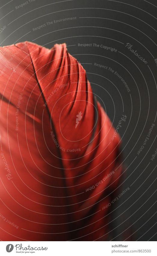 Rotschopf schön rot Tier Erotik dunkel Vogel Feder Romantik Felsspalten Federvieh Kiel Schreibfeder Dichter federartig Federwerk