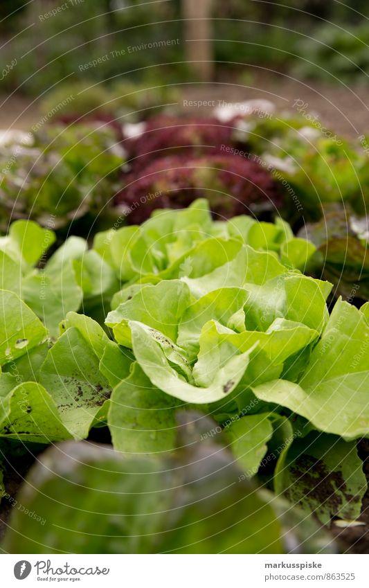 blattsalat Stadt Gesunde Ernährung Essen Garten Lebensmittel Freizeit & Hobby Wohnung Lifestyle Wachstum Häusliches Leben Ernährung Fitness Kräuter & Gewürze Bioprodukte Abendessen Picknick