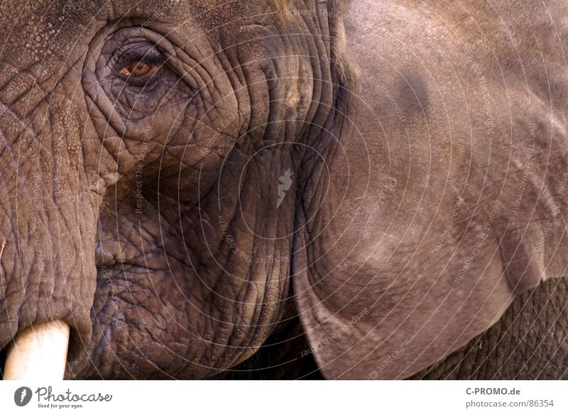 Anti-Age oder Pro-Age... Tier Trauer Afrika Zoo Falte Verzweiflung Indien Säugetier Elefant Rüssel Nutztier Stoßzähne