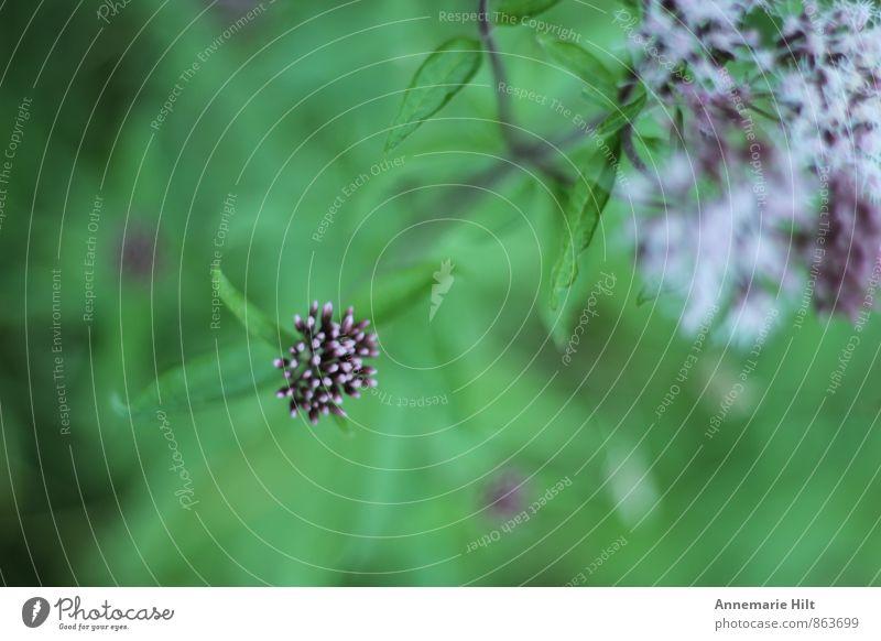 Blümchen Umwelt Pflanze Frühling Sommer Herbst Blume Gras Wiese Feld grün violett weiß Farbfoto Außenaufnahme Nahaufnahme Makroaufnahme Menschenleer
