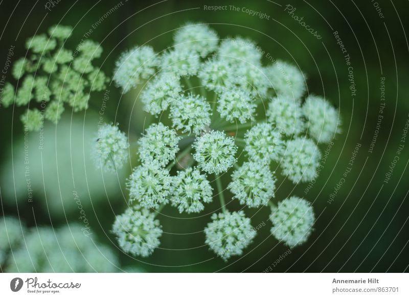 Waldwegblume Natur Pflanze grün weiß Sommer Blume Herbst Frühling Wachstum Blumenwiese Wildpflanze Waldblume