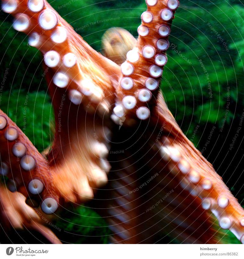 calamari Tintenfisch Octopus Meer Tier Aquarium grün Atlantik Fisch Wasser calamaris squid cuttle Natur Farbe Urin Ausscheidungen