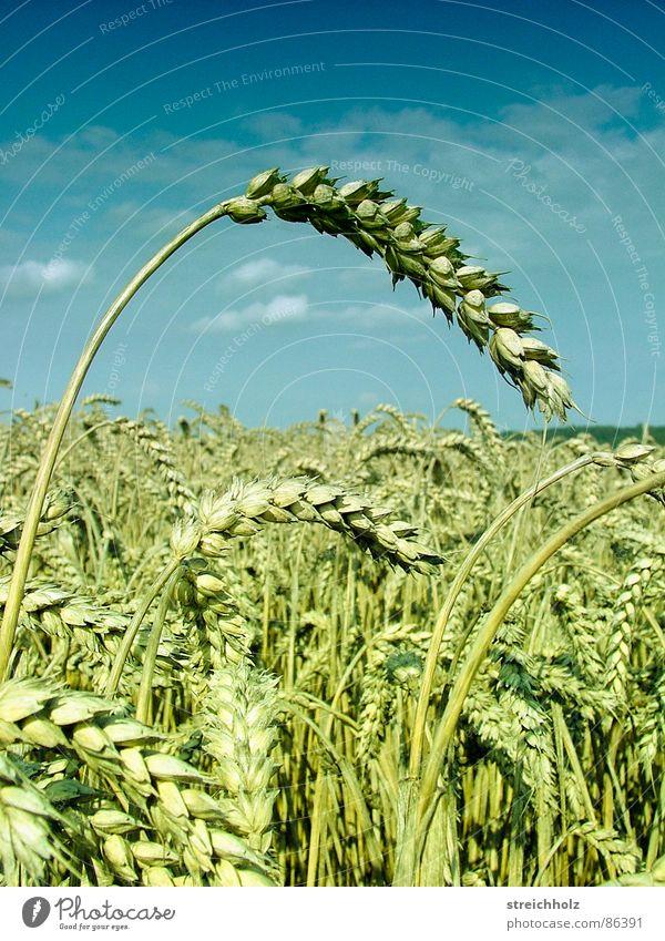 Getreideacker Himmel weiß Freiheit Glück Feld gold Ernährung Perspektive Hoffnung Landwirtschaft Bauernhof Paradies Kornfeld Samen Weizen