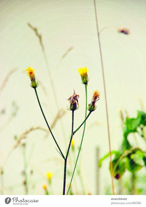 Gräser Blüte Gras Glück Hoffnung Vertrauen Löwenzahn Blumenstrauß Hippie Beet Optimismus resignieren Blumenhändler Blumenbeet Knollengewächse Gemüsebeet