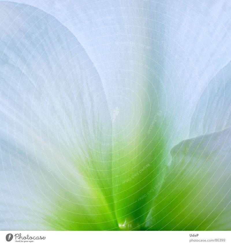 Fee Amaryllis Amaryllisgewächse Blüte Blütenblatt grün Farbverlauf durchscheinend Pflanzenteile lichtvoll Vollendung perfekt Makroaufnahme Nahaufnahme Frühling