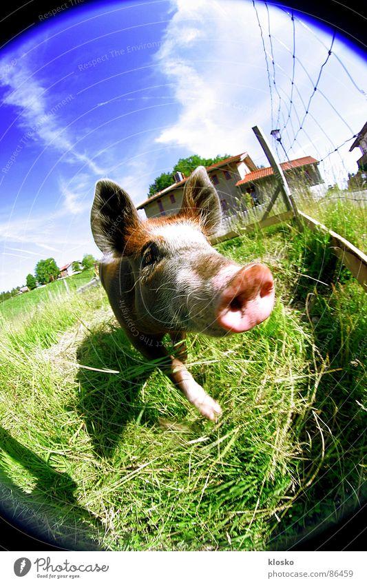 Fisheye-Pig Spardose Schwein Bauernhof Dorf Ferkel Landwirtschaft Fischauge Rüssel rosa Neugier Zaun Tier Kuhdorf Heimat Sau drollig niedlich lustig Dorfwiese