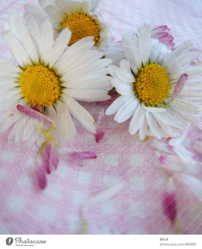 MÄDCHENBLÜMCHEN Natur Pflanze Sommer Blume Wiese Frühling Blüte Glück Feste & Feiern Stimmung rosa liegen frisch Lebensfreude Romantik Kitsch