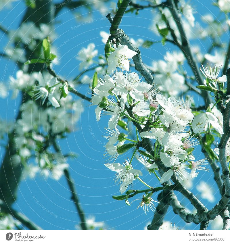 Noch mehr Frühling ... Himmel weiß grün Blüte Glück Frühling Stimmung Wärme Frucht Fröhlichkeit Klima Physik Ast Blühend Quadrat Pollen