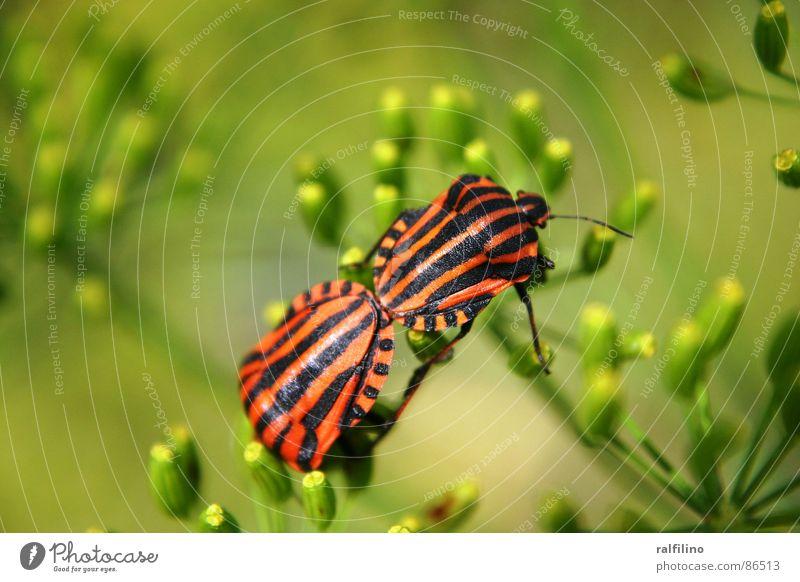 Liebende Wanzen Natur Blume Tier Gefühle Frühling Käfer Wanze Population
