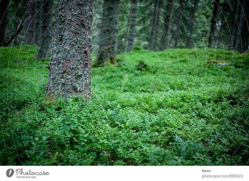 An einem verwunschenen Ort (II) Umwelt Natur Pflanze Frühling Sommer Baum Sträucher Moos Blaubeeren Wald Urwald Holz Wachstum dunkel authentisch einfach