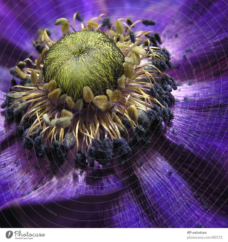 Bienen-Magnet Blühend Pflanze Blume Blüte Wachstum Makroaufnahme bestäuben Frühling Sommer violett grün Blumenstrauß Frühlingsgefühle schön zart Botanik