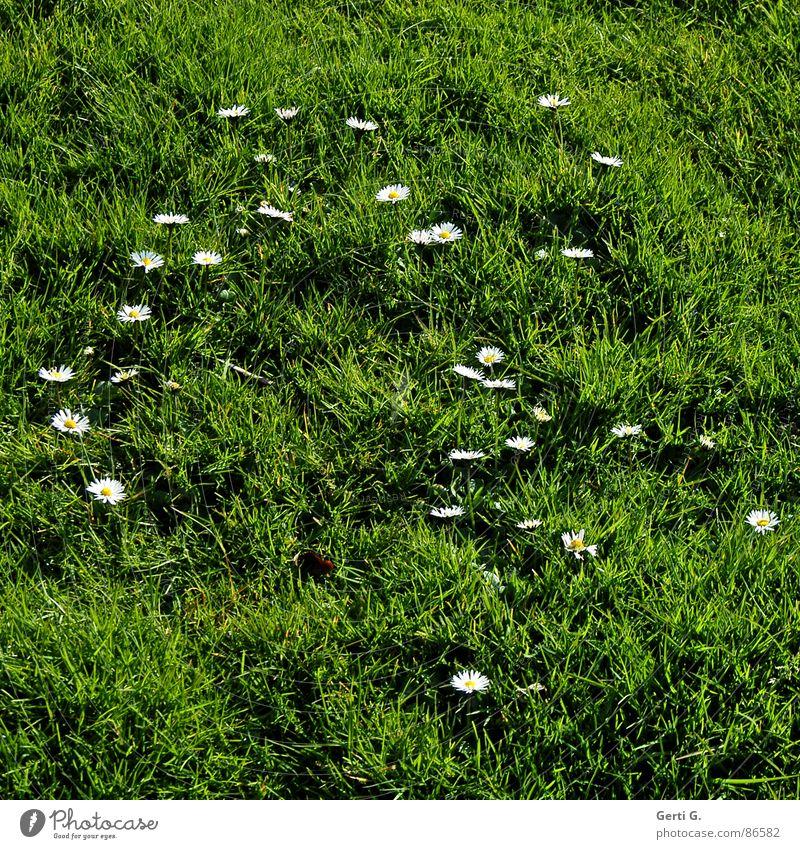 I love daisy grün Freude Wiese Gras Frühling Hintergrundbild Rasen Gänseblümchen Alm Dorfwiese