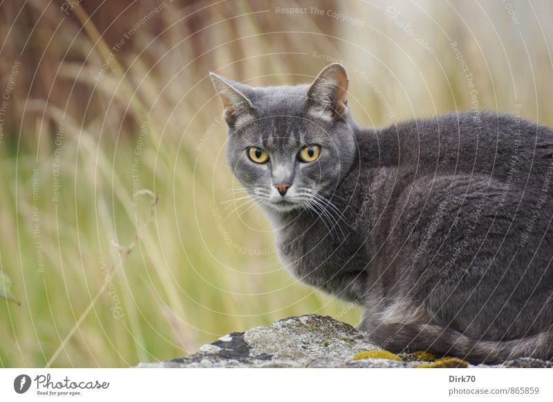 Vorwurfsvoller Blick Häusliches Leben Garten Sommer Gras Flechten Mauerstein Wiese Finistere Wand Tier Haustier Katze 1 hocken Jagd elegant frei kuschlig